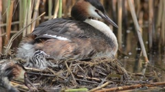 Great Crested Grebe, the chick is under the wings, the other adult tenders  fish Stock Footage