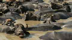 Buffaloes take a refreshing bath during a warm day in India Stock Footage
