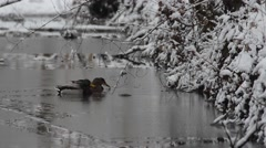 mallard, duck, winter - stock footage