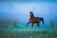Brown horse is running throw the strong fog Stock Photos