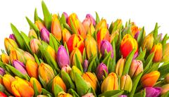 colorful bouquet of fresh spring tulip flowers with water drops on white back - stock photo