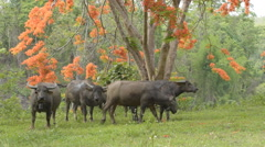 Group of buffalo walking under flame tree,Thailand. Stock Footage