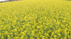 Rapeseed blooming - stock footage