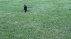 Black cat walks towards the camera Stock Footage