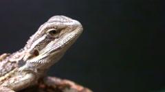 Lizard Head - stock footage