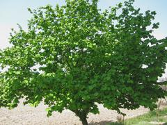 Hazel tree with green leaves in spring in Tuscany, Italy Stock Photos