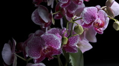 ORCHID DRAMA - stock footage