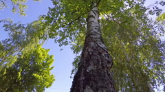 The Birch Foliage Looking Up 4 Stock Footage