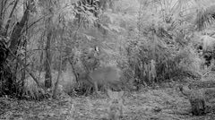 Florida Panther moving her kittens Stock Footage