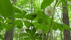 close up of mayapple on forest floor large trees nature scenic - stock footage