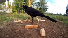 Black bird rips and eats bread Stock Footage