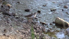 Spotted sandpiper nature wildlife Stock Footage