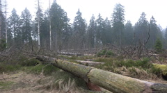 Tree trunks and logs pan rainy season Harz forest Stock Footage