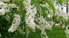 Flowering cherry in spring, the breeze stirs the branches. Stock Footage