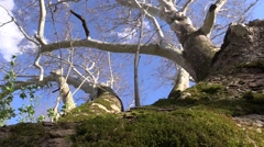 Large sycamore on windy day with blue sky nature Stock Footage