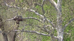 Vulture spreading wings in the wind nature wildlife Stock Footage