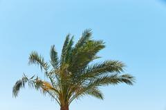 Branches of dates palms against the clear blue sky - stock photo