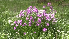 Wild phlox  in field on windy day nature meadow Stock Footage