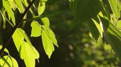Green Leaves Trees Sunlight Backlit Stock Footage