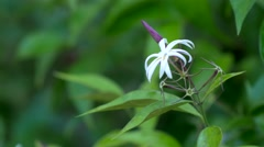 Wild white honeysuckle flower, 4K Stock Footage