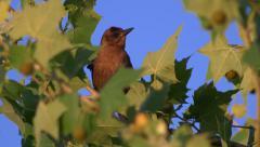 Red-Winged Blackbird (Female) in tree top blowing in wind, 4K Stock Footage
