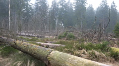 Tree trunks and logs closeup rainy season Harz forest Stock Footage
