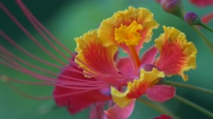 Royal Poinciana flower blows in the breeze, 4K Stock Footage