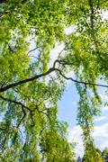 An old birch tree with long branches in Spring time. - stock photo