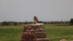 Burrowing Owl Perched in Wilderness, Long Shot Stock Footage