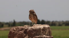 Burrowing Owl Perched in Wilderness, and Chirping Stock Footage