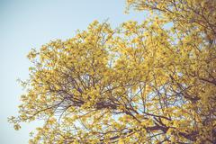 Yellow tabebuia spring blossom in vintage retro tone Stock Photos