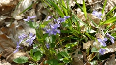 Purple Wildflowers Close Up On a Wind Stock Footage