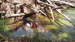 Wood Duck Drake Stock Footage