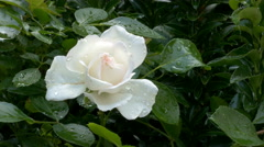 White rose dew-soaked. Stock Footage