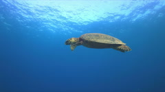 Hawksbill turtle swimming to the surface 4K Stock Footage