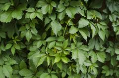 Stock Photo of Wall covered with bright leaves of wild grapes