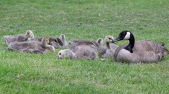 Young fledgling Geese chicks in a park with mother Stock Footage