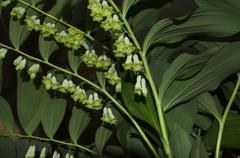 Stock Photo of Delicate flowers on background a large sheet of Solomon's seal