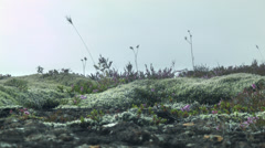 Green Moss and Shrubs in ICELAND  Stock Footage