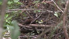 Everglades mink Stock Footage