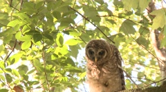 BARRED OWL cleaning Stock Footage
