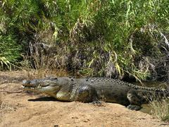 Australian salt water crocodile Queensland Australia Stock Photos
