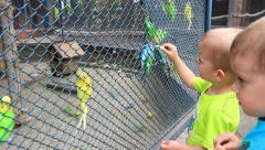 Children feed the Budgerigars Stock Footage