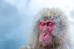 Snow monkey Macaque Onsen - stock photo