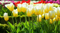 Tulips in a Park - stock footage