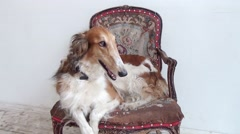 Dog Lying On Vintage Chair Stock Footage