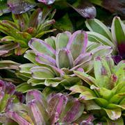 Plant bush. Ananas comosus-pineapple tree - stock photo