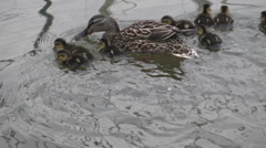 A mother Mallard duck with her nine ducklings swimming in the water Stock Footage