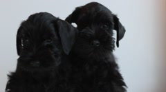 Two  black miniature schnauzer Stock Footage