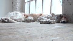 Russian Greyhound Lying On A Wooden Floor - stock footage